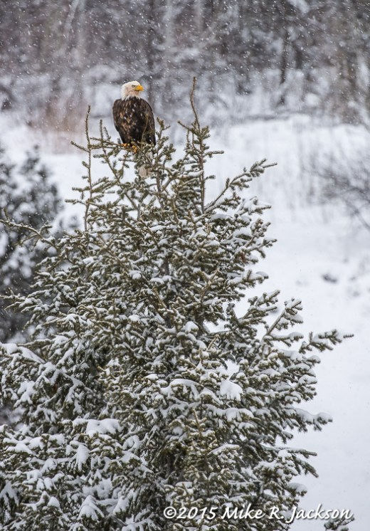Eagle in Spruce Tree