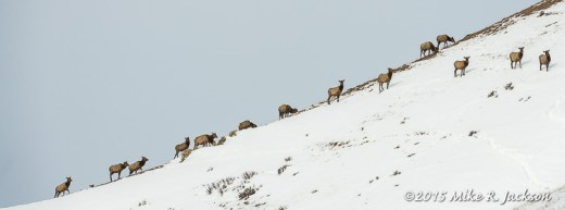 Elk On Ridge Line