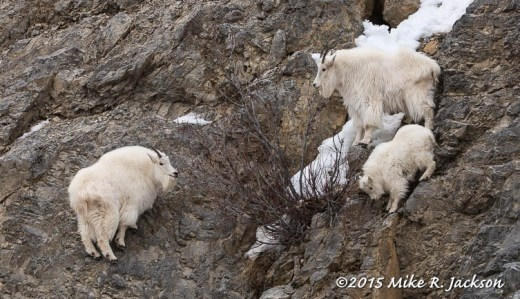 Three Mountain Goats on Steep Slope