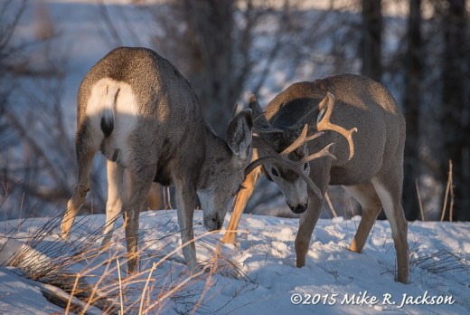 Sparring Mule Deer