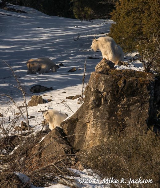 Evening Light on Two Mountain Goats