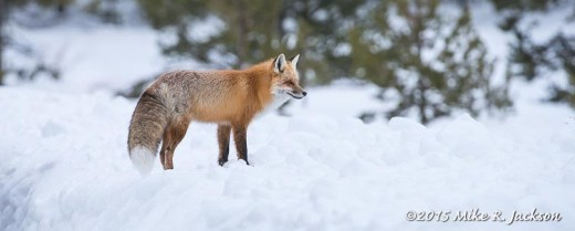 Red Fox Watching