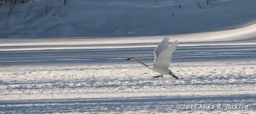 Swan on Snow
