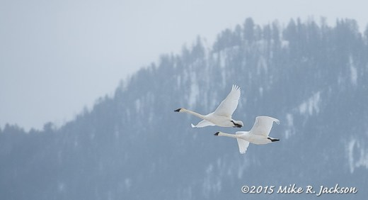 Trumpeter Swans Flying In: