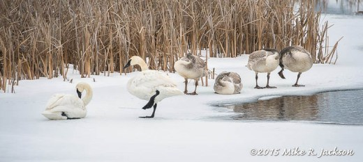 Wintering Trumpeter Swans