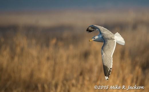 Gull Against Gold