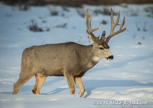 Mule Deer in Evening Light
