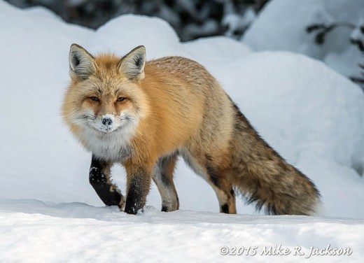Red Fox with Snow On Her Nose