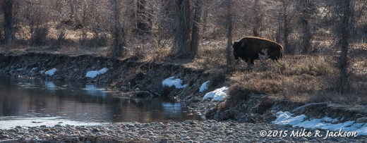 Bison at the Gros Ventre