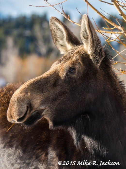 Alert Cow Moose