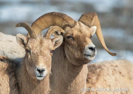 Ewe and Ram