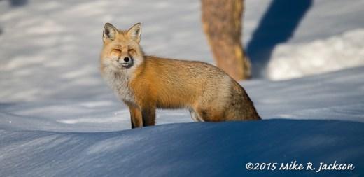 Fox On Snow - March 1