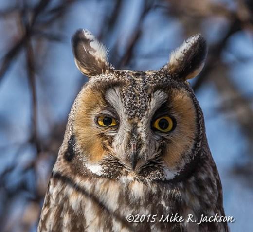 Long-eared Owl Portrait
