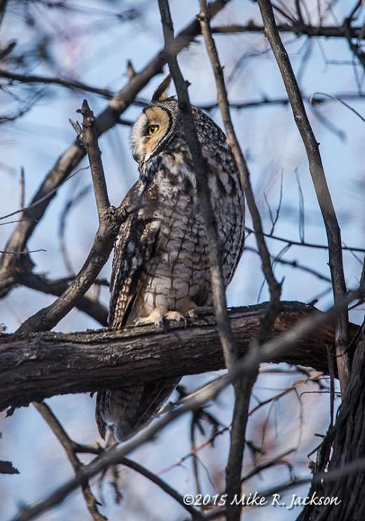 Long-eared Owl In Trees