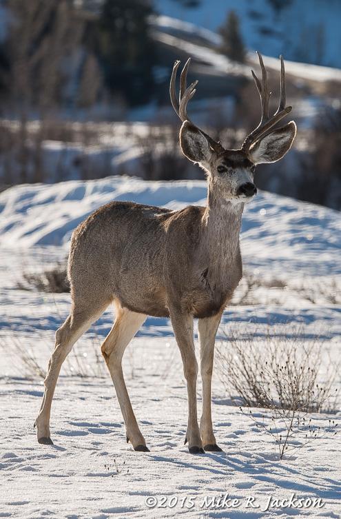 Mule Deer Buck Backlit