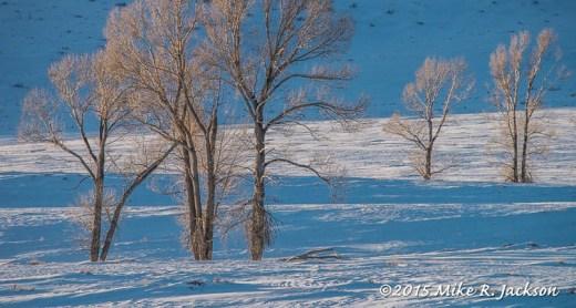 Winter Cottonwoods