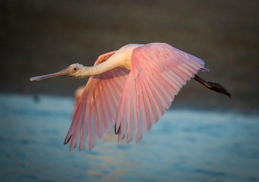 Morning Spoonbill