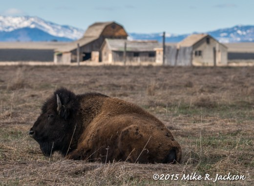 Bison and Barn Backdrop