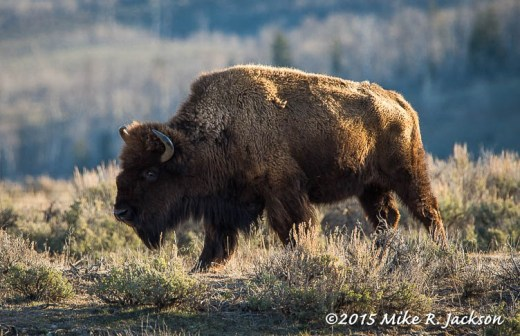 Morning Bison