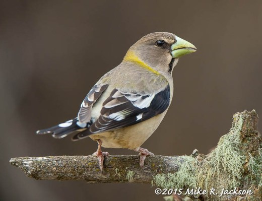 Evaning Grosbeak