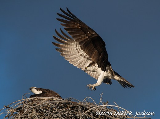 Osprey Returning