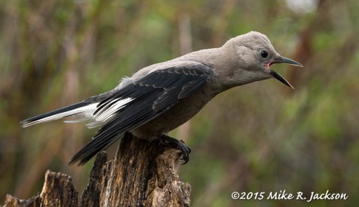 Begging Fledgling Clark's Nutcracker
