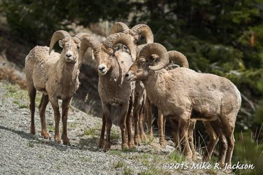 Sylvan Pass Bighorns