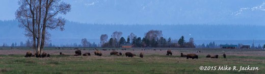 Bison Herd in Early Morning Light