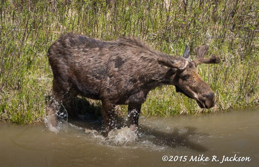 Bull Moose Entering the Water