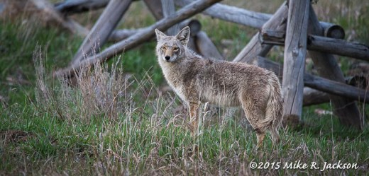 Coyote and Buck Rail Fences
