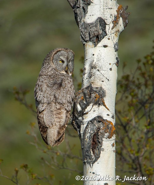 Great Gray in Aspen Tree: