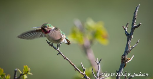 Hummingbird Taking Off