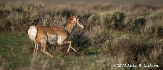 Dancing Pronghorn