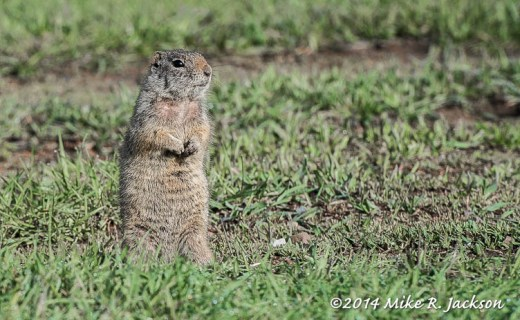Uintal Ground Squirrel