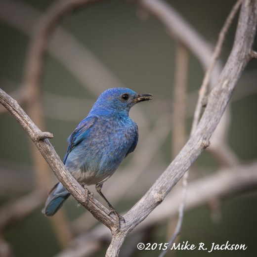 Bluebird with Bugs