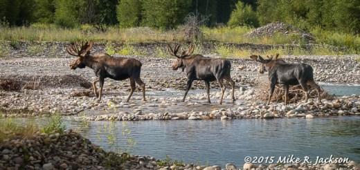 Three Bull Moose Crossing