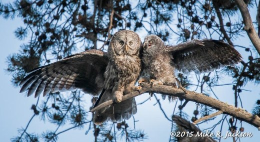 Baby Owl and Mother Great Gray Owls