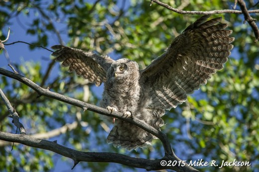 Young Great Gray Owl