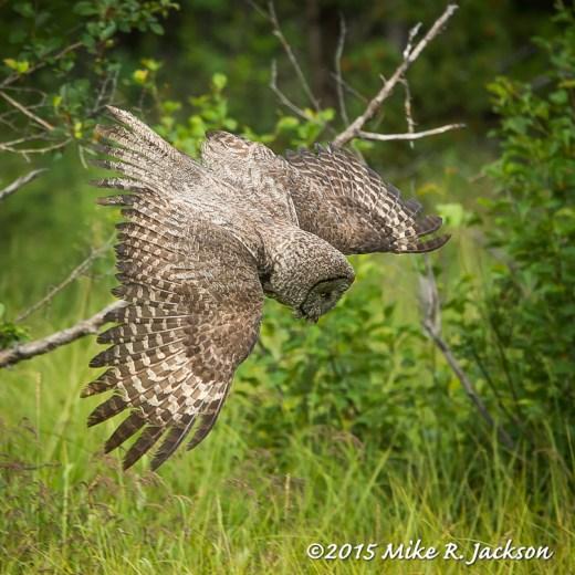 Diving Owl