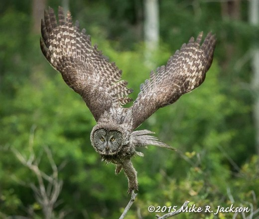 Great Gray Owl Taking Off