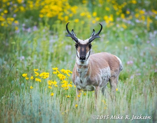 Pronghorn Buck with Summer Wildflowers