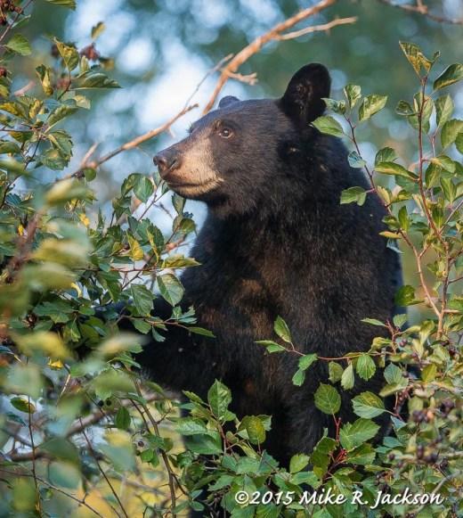 Black Bear atop Berry Bush