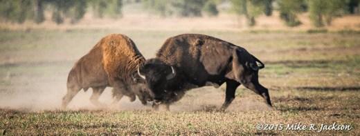 Bison Rut
