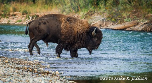 Bull Bison Crossing