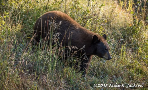 Black Bear in Low Grasses