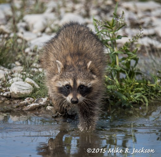 Approaching Raccoon