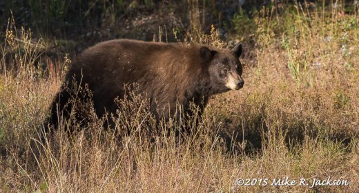 Cinnamon Black Bear in Morning Grasses