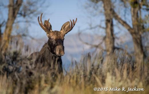 Alert Young Moose