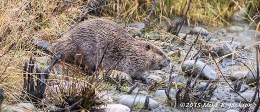 Beaver on Land