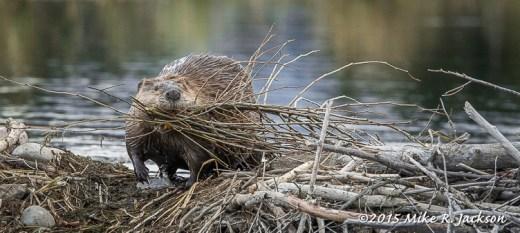 Beaver Over Dam
